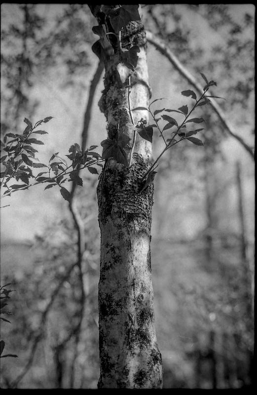tree trunk, late light, Montreat, NC, Pentax Spotomatic, Super Takumar 50mm f-1.4, Arista.Edu 400, HC-110 developer, early February 2020