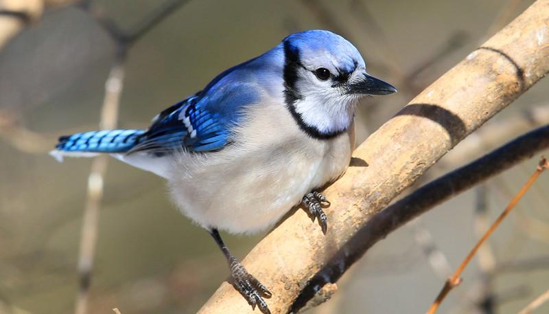 blue jay at Lake Meyer Park IA 653A4136