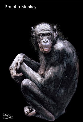 Bonobo Monkey at the Jacksonville Zoo