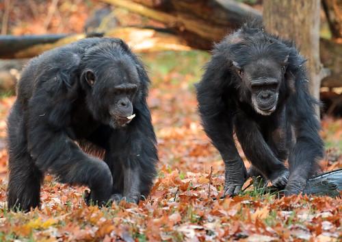 chimpanzee Burgerszoo BB2A0306