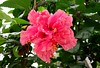 "Is it ""Shoeblackplant"" (Hibiscus rosa-sinensis), or ""Maga"" (Thespesia grandiflora)?"