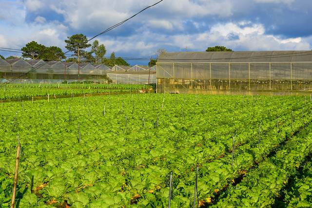 Green vegetable field in sunny day