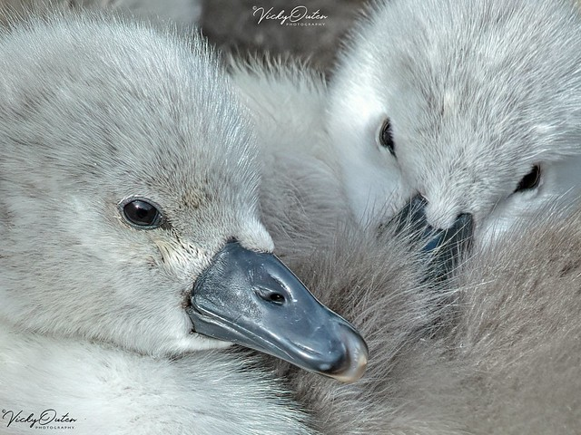 Adorable cygnets (cropped) SVP - May 19 3738