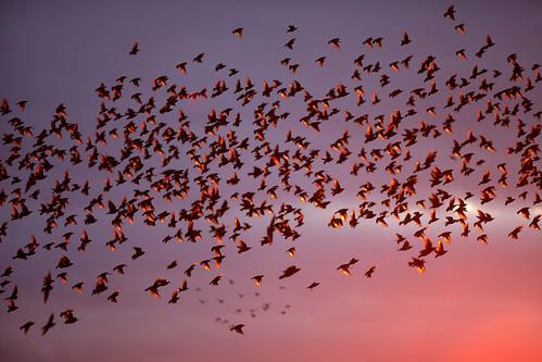 starlings murmuration birds flying wildlife nature sunset brighton