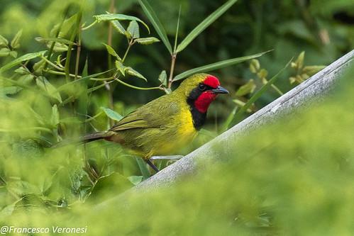 176bushshrikesandallies birds centralkenya kenya africa dohertysbushshrike
