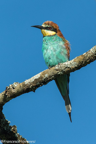 91beeeaters birds centralkenya kenya africa europeanbeeeater