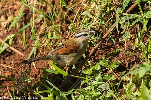 176bushshrikesandallies birds centralkenya kenya africa browncrownedtchagra