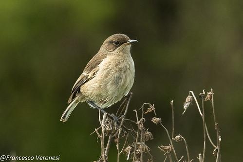 141oldworldflycatchers birds centralkenya kenya africa moorlandchat