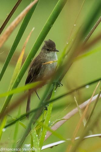 139oldworldwarblers birds centralkenya kenya africa lesserswampwarbler