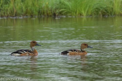 26ducksgeeseswans birds centralkenya kenya africa fulvouswhistlingduck