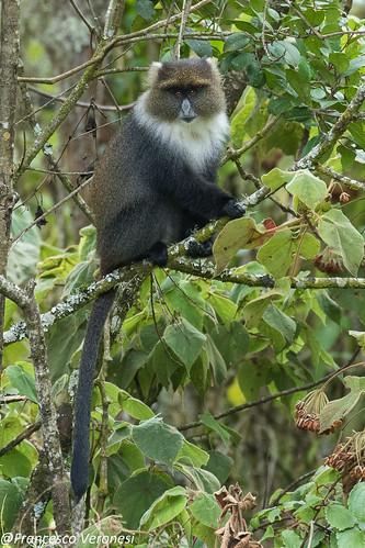 mammals primates whiteneckedsykesmonkey centralkenya kenya africa