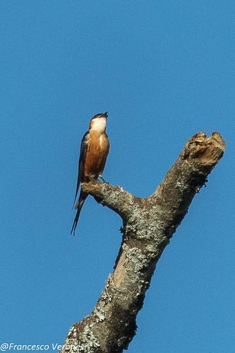 122swallows birds centralkenya kenya africa mosqueswallow