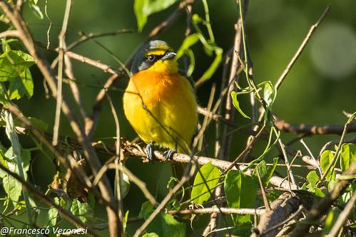 176bushshrikesandallies birds centralkenya kenya africa sulphurbreastedbushshrike