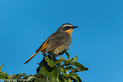 141oldworldflycatchers birds centralkenya kenya africa caperobinchat