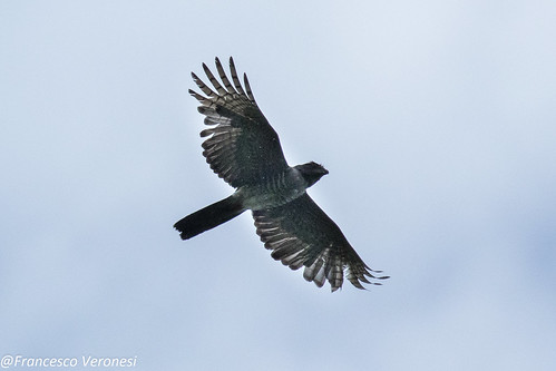 29hawkseagleskites birds centralkenya kenya africa africancuckoohawk