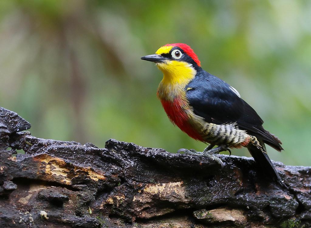 Benedito-de-testa-amarela / Yellow-fronted Woodpecker