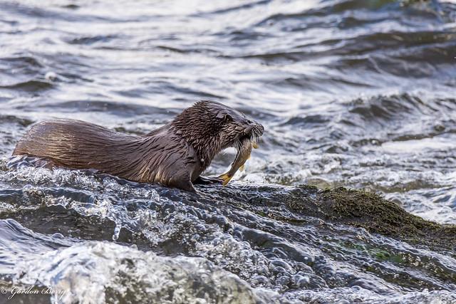 Eurasian Otter 19-Jan-20 G_006