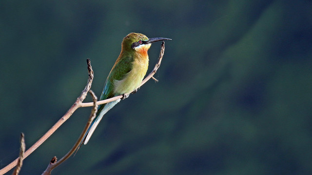 Blue-tailed Bee-eater. - Merops philippinus