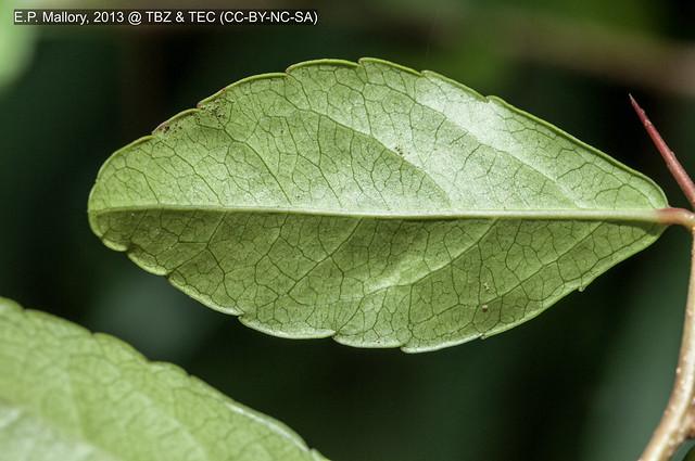2013-07-16 TEC Flora 040 Xylosma cf. flexuosa - E.P. Mallory