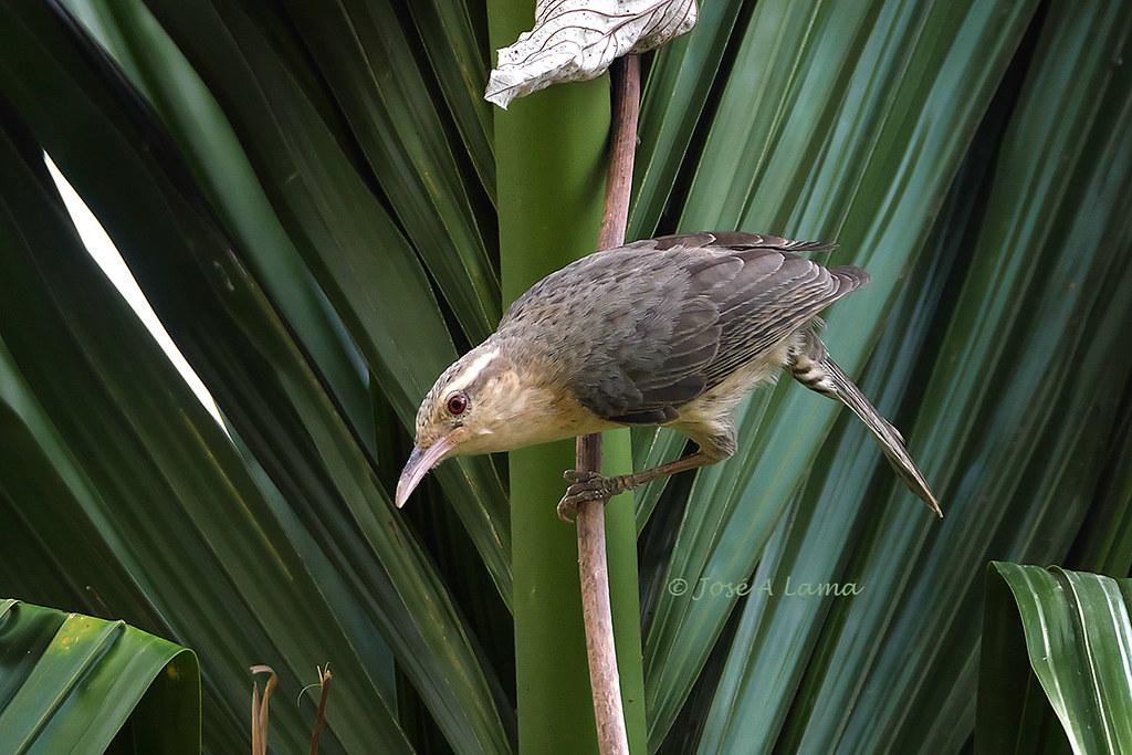 Campylorhynchus turdinus
