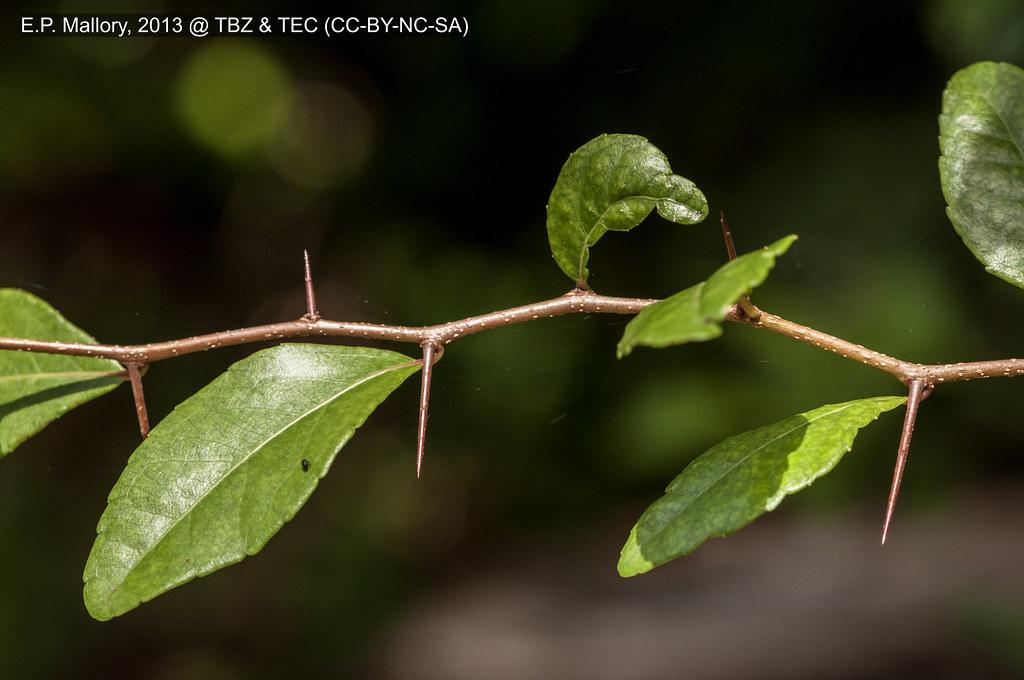2013-07-16 TEC Flora 038 Xylosma cf. flexuosa - E.P. Mallory