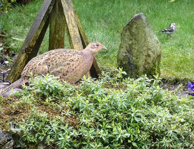 The garden:  hen pheasant and pied wagtail