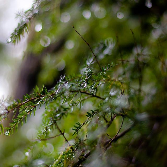 Mist Pooling On Leaves 023