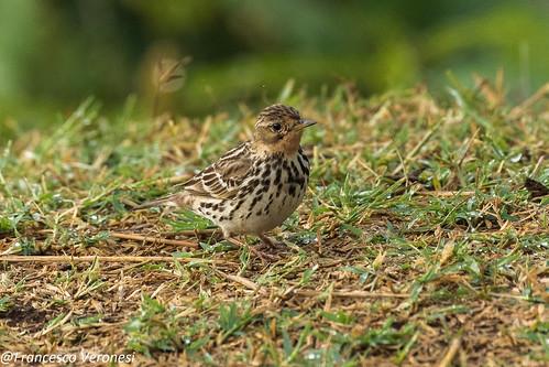 123wagtailspipits birds centralkenya kenya africa redthratedpipit