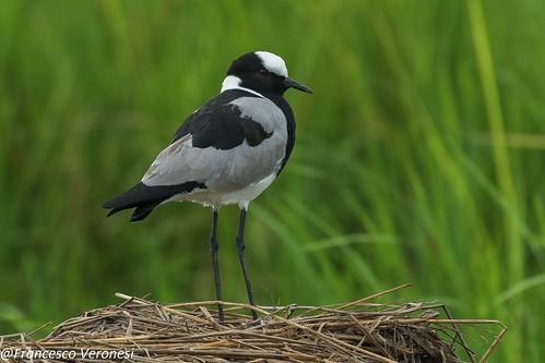 59ploverslapwings birds centralkenya kenya africa blacksmithplover