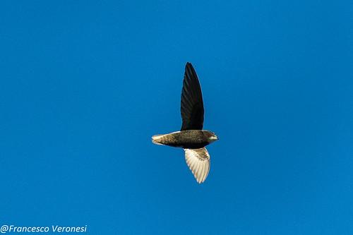 83swifts birds centralkenya kenya africa littleswift
