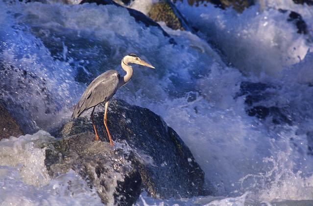 Gray heron fishing