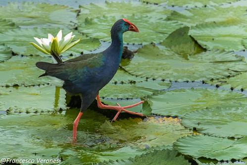 45railsgallinulecoots birds centralkenya kenya africa africanswamphen