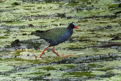 45railsgallinulecoots birds centralkenya kenya africa allensgallinule