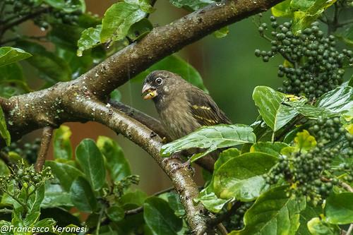 195finchescrossbilsallies birds centralkenya kenya africa thickbilledseedeater