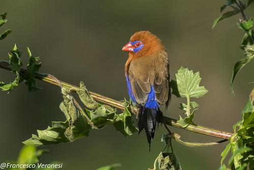 192waxbillsandallies birds centralkenya kenya africa purplegrenadier