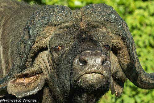 buffalo mammals centralkenya kenya africa