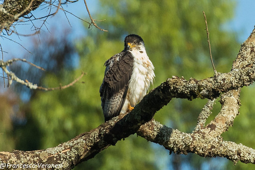 29hawkseagleskites birds centralkenya kenya africa augurbuzzard