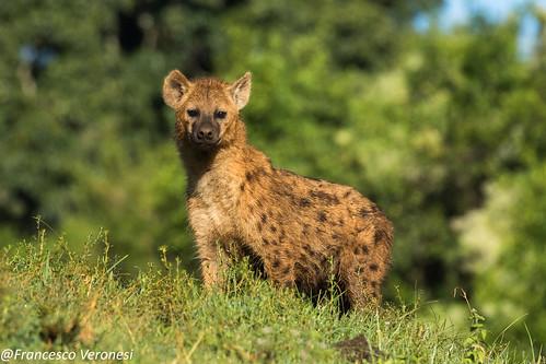 hyenaspotted mammals centralkenya kenya africa