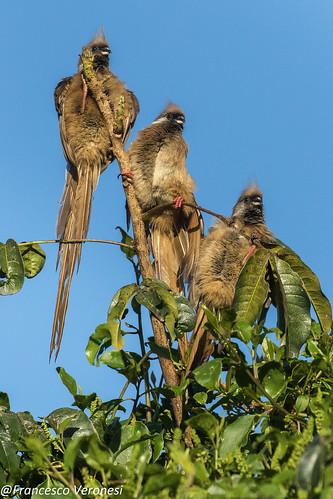 86mousebirds birds centralkenya kenya africa speckledmousebird