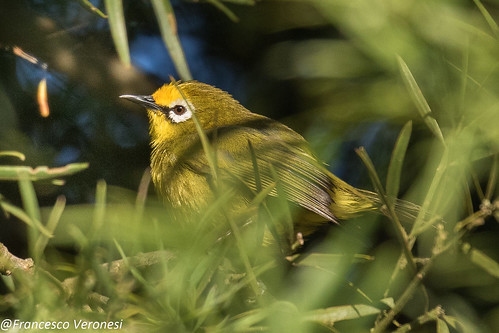 170whiteeyes birds centralkenya kenya africa montanewhiteeye zosteropspoliogaster broadringedwhiteeye