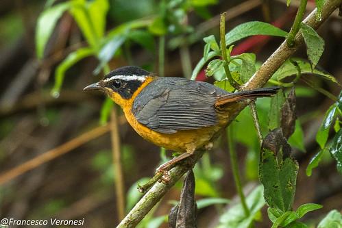 141oldworldflycatchers birds centralkenya kenya africa ruppelsrobinchat