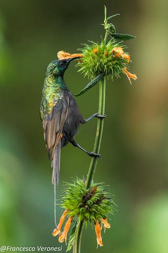 165sunbirds birds centralkenya kenya africa bronzesunbird