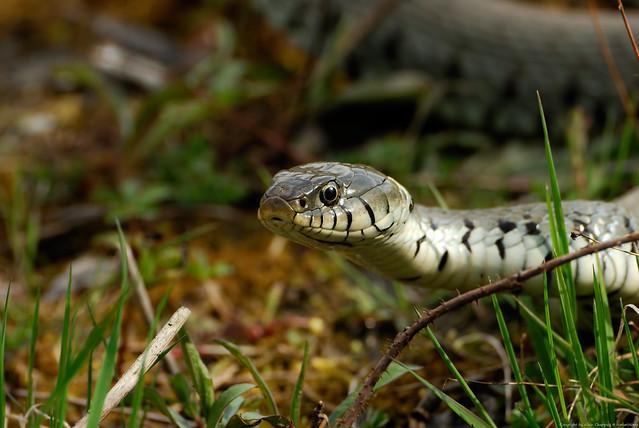 Couleuvre à collier (Natrix natrix) Northern ringneck snake