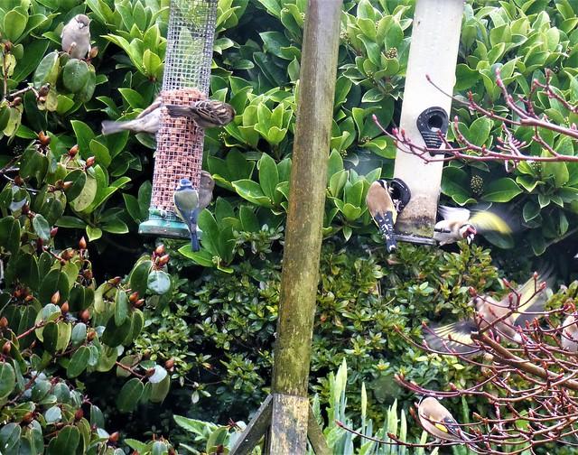 The garden:  bird feeders in constant use