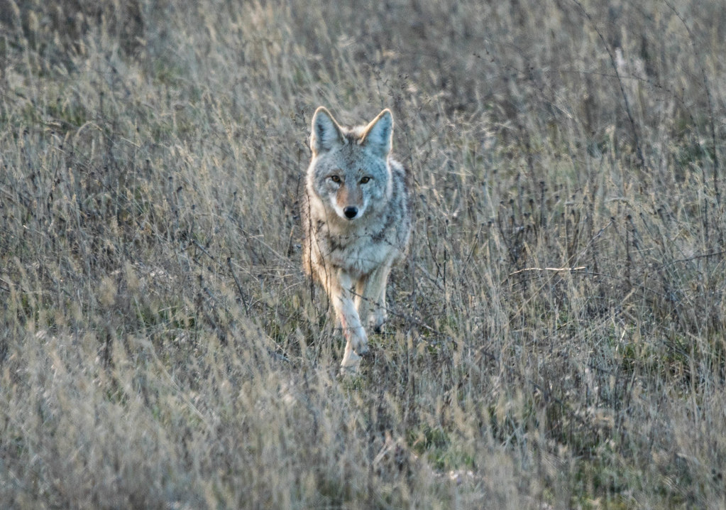 Coyote 2 (1 of 1)