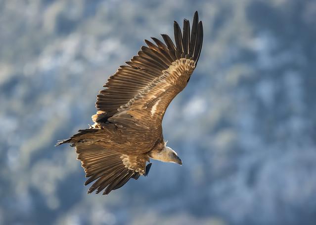 Vautour Fauve ( Griffon vulture, please zoom in)
