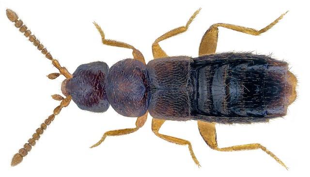 Ousipalia caesula (Erichson, 1839)