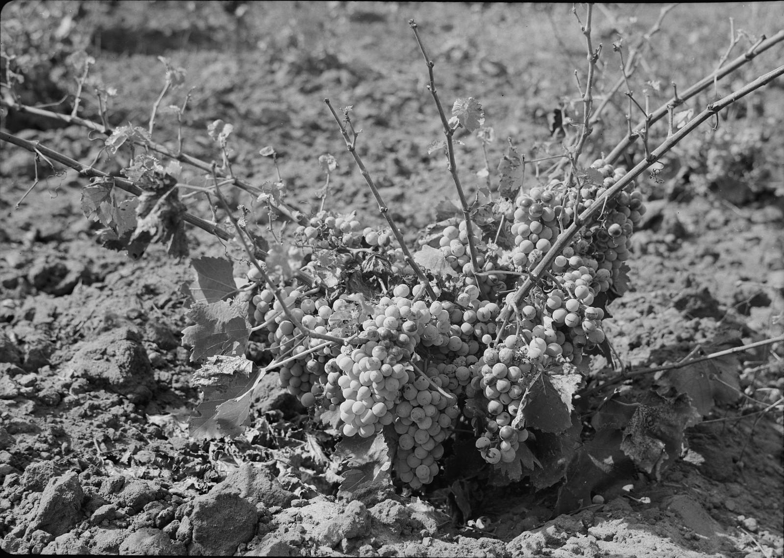 21. Крупный план виноградной лозы