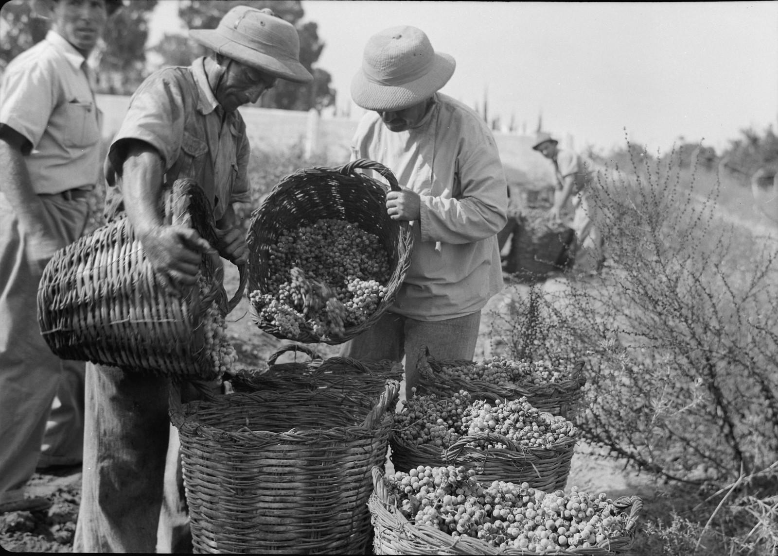 19. Сбор винограда в большие корзины