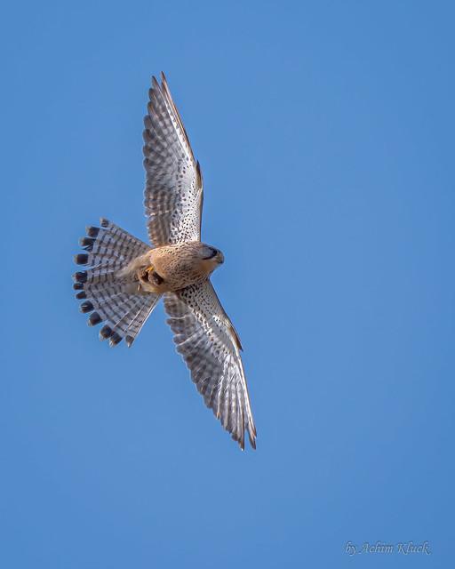 Turmfalke (Falco tinnunculus) mit erbeuteter Maus im Flug